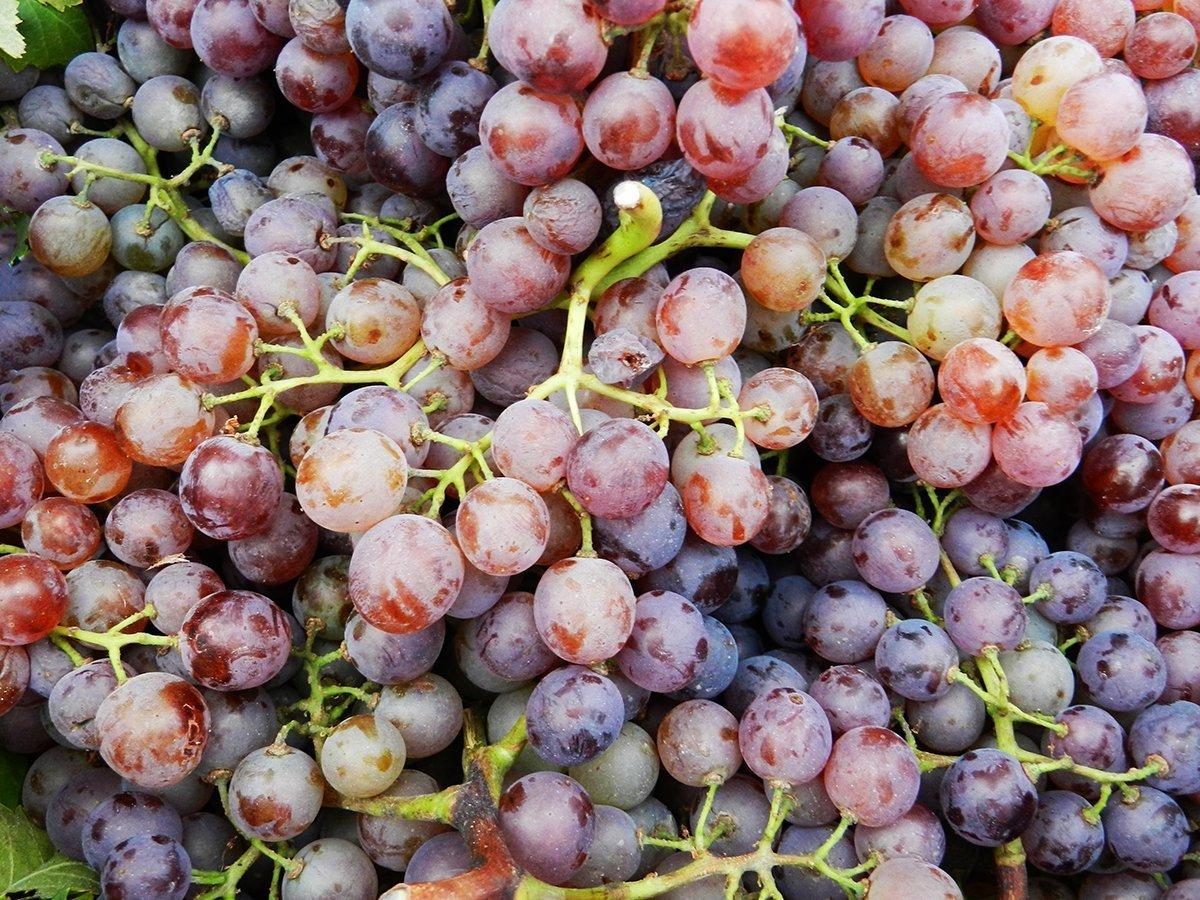 L'uva e le sue virtù